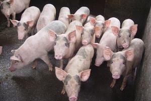 Nguồn lợn hơi ở Trà Vinh giảm mạnh