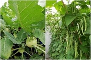Ông bố Phú Thọ trồng rau trên tháp xanh non mơn mởn cho vợ và hai con