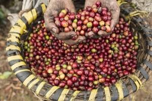 Giá cà phê hôm nay (7/2) tăng mạnh, vượt 37.000 đồng/kg