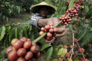 Giá cà phê hôm nay (24/2) tiếp tục giảm sâu
