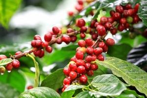 Giá cà phê và hồ tiêu hôm nay (27/2) đồng loạt giảm