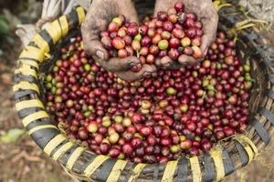 Giá cà phê hôm nay (13/3) giảm nhẹ, giá hồ tiêu về thấp kỷ lục