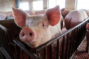 Đến lượt ngành chăn nuôi heo hơi Trung Quốc rơi vào khủng hoảng giá