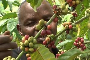 Giá cà phê hôm nay (10/4) lên 37.000 đồng/kg ở nhiều nơi, giá hồ tiêu tăng 1.000 đồng