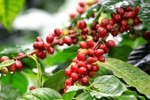 Giá cà phê hôm nay (14/5) vẫn chịu nhiều áp lực giảm, giới đầu cơ quay lại gom vị thế bán