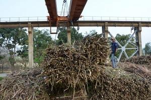 Doanh nghiệp mía đường đang là 'con nợ' của người trồng mía