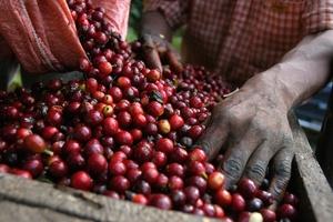 Giá cà phê hôm nay (3/7) lao dốc gần 3% xuống đáy ít nhất 2 năm