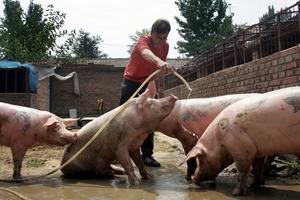 Ngành thịt heo Mỹ đối mặt với khủng hoảng nhu cầu khi nguồn cung đạt kỷ lục trong tháng 6