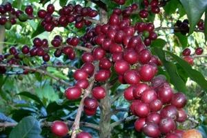 Giá cà phê hôm nay (6/7) 'thủng đáy' do Brazil tăng xuất khẩu