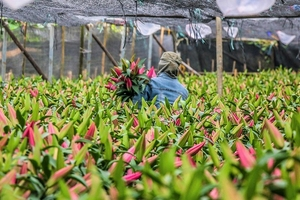 Trước Tết Nguyên đán 2019, hoa ly Hà Nội đã nở, nông dân bán tháo giá bằng một nửa