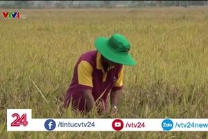 Lúa ngả rạp, rớt giá, nông dân điêu đứng
