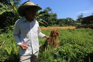 Quảng Nam: 100 tấn nghệ không người thu mua