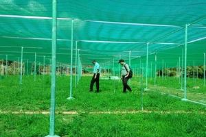 Quảng Nam: Độc đáo làng trái cây Nam Bộ giữa lòng miền Trung