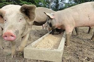 Giá heo (lợn) hơi hôm nay (25/12): Giảm 1.000 - 2.000 đồng/kg ở miền Nam