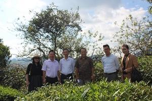 Tổng Công ty Chè Việt Nam (VINATEA): Mở hướng phát triển bền vững từ cây chè Mộc Châu
