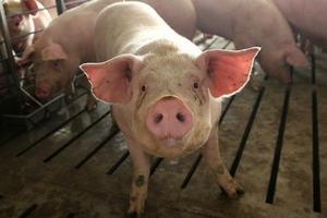 Giá heo hơi hôm nay 9/12: Công ty chăn nuôi hai miền Bắc - Nam tăng tới 2.000 - 3.000 đồng/kg