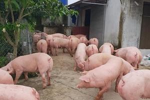 Giá heo (lợn) hơi hôm nay (31/12): Bình quân miền Nam 50.000 đồng/kg