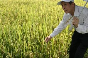 Giống lúa HDT10: Bội thu của nhà nông