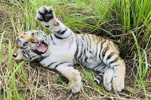 Dân mạng phấn khích với chú hổ Bengal đáng yêu hết nấc tại FLC Zoo Safari Park Quy Nhon