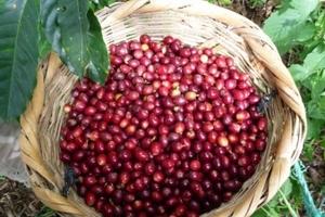 Giá cà phê hôm nay (11/9) giảm 300 đồng/kg, giá tiêu 'lặng sóng'