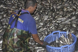 Cá lại chết hàng loạt nổi trắng Hồ Tây