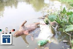 """TP.HCM: Xác lợn chết """"lềnh phềnh"""" trên sông"""