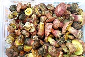 Gần triệu đồng một kg nấm gan bò Đà Lạt