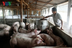 Giá lợn tăng, người chăn nuôi vẫn dè dặt tái đàn