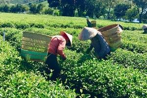 Xuất khẩu chè Việt Nam tiếp tục tăng trong tháng 10