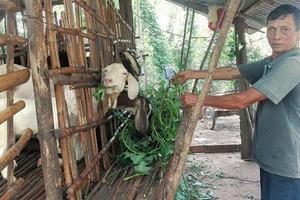 Bình Phước: Lái Trung Quốc mua gom cả dê già yếu, không chê con nào