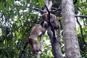Hà Tĩnh: Thả 12 cá thể khỉ vào Vườn Quốc Gia Vũ Quang