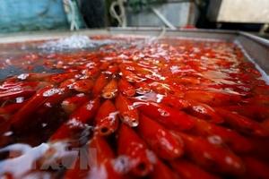 Thị trường cá chép cho ngày tiễn ông Táo về trời hút khách