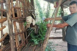 Bản tin Tiêu dùng 20/8: Thương lái Trung Quốc mua gom cả dê già yếu; giá vàng giảm mạnh