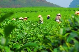 Xuất khẩu chè Việt Nam tăng 16,7% về giá trị trong 9 tháng