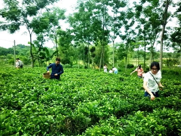Du khách trải nghiệm việc hái chè tại làng nghề chè Ba Trại