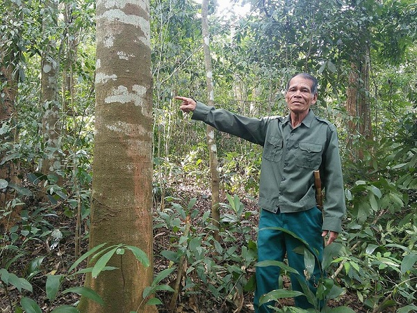Trung bình mỗi cây lim có đường kính khoảng 40 – 50cm
