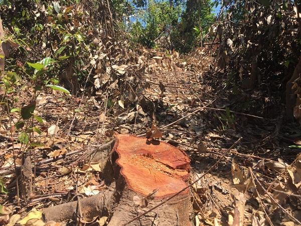 Rừng phòng hộ huyện Quảng Trạch bị tàn phá nghiêm trọng