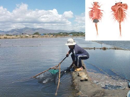 Thu hoạch Artemia ở Bình Thuận. Ảnh nh�: con Artemia. Ảnh: Ti�n Phong.
