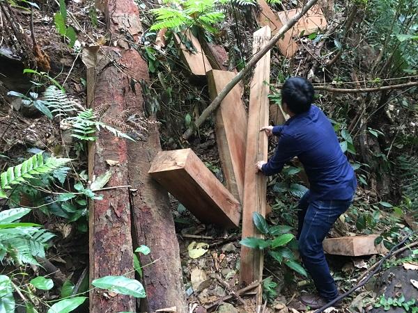 """Hiện trường tại khu vực một cây gỗ lim bị """"lâm tặc"""" triệt hạ, số gỗ đã bị lấy đi"""