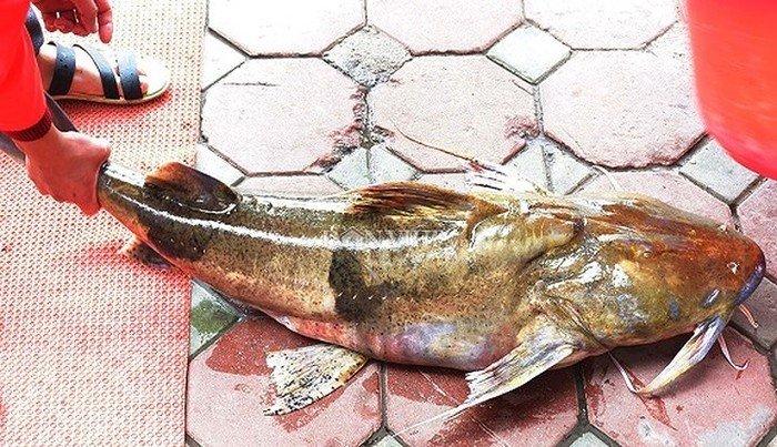Những loài cá 'đắt như vàng' luôn được săn lùng