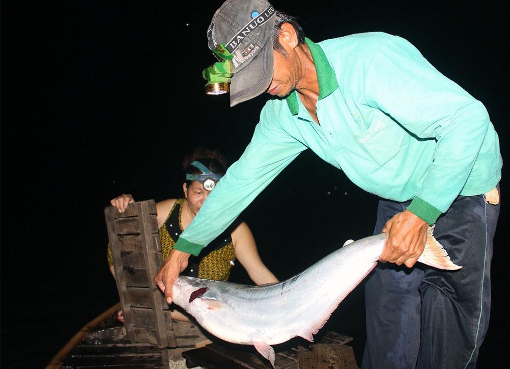 'Nhân sâm nước' của hiếm miền Tây: Cuộc đi săn trắng đêm