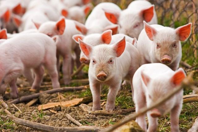 Giá lợn hơi hôm nay 7/6/2021: 2 miền Bắc - Nam tăng nhẹ. (Ảnh: Internet)