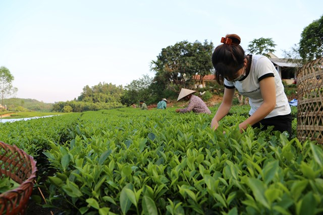Công ty cổ phần Chè Phong Hải (Lào Cai)luôn cố gắng hết sức để giữ nhịp độ sản xuất và đời sống của nhân viên