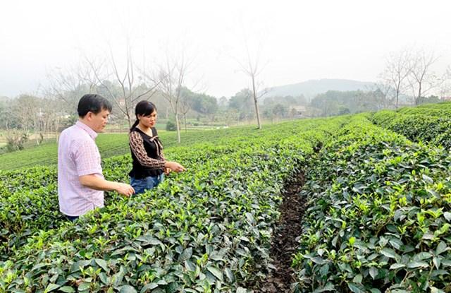 Giám đốc Công ty cổ phần Chè Mỹ Lâm Lê Quang Chuyền, thành viên Tổ sản xuất chè an toàn đội Quyết Thắng kiểm tra