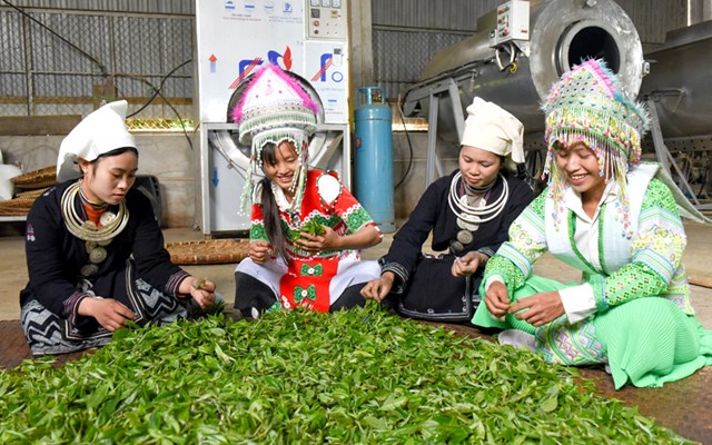 HTX Sơn Trà, xã Hồng Thái (Na Hang) liên kết tiêu thụ sản phẩm chè Shan tuyết cho người dân.