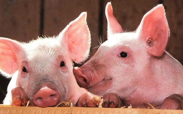 Hiện giá lợn hơi được thu mua trong khoảng 52.000 - 61.000 đồng/kg - Ảnh minh họa.