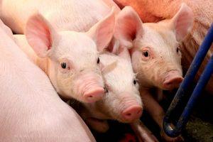 Giá lợn hơi hôm nay 3/8: Tăng giảm trái chiều