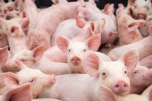 Giá lợn hơi hôm nay 27/8: Đi ngang trên diện rộng