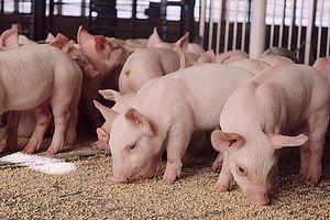 Giá lợn hơi hôm nay 14/6: Tăng rải rác tại các địa phương thuộc khu vực phía Nam