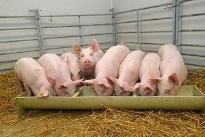 Giá lợn hơi hôm nay 15/6: Điều chỉnh giảm nhẹ tại miền Bắc